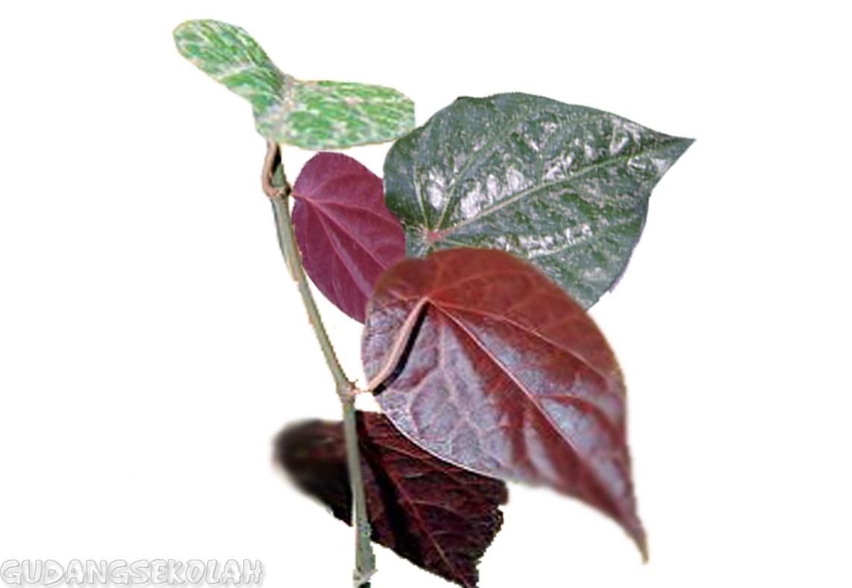 manfaat daun sirih merah untuk tipo de diabetes